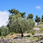 Thassos - Olive trees